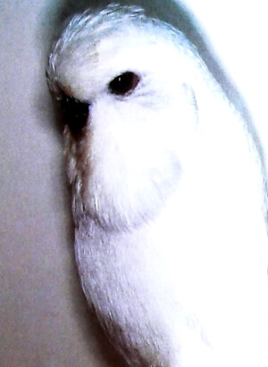 características periquitos spangle perlados blancos de factor doble