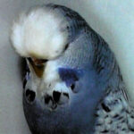 tipo periquito Spangle o perlado gris