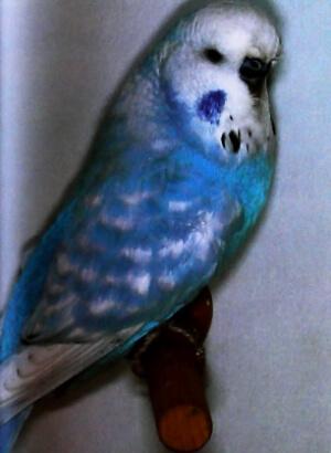 descripción periquito perlado opalino azul