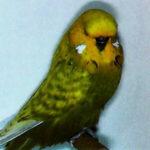 descripción periquito perlado opalino de la serie verde