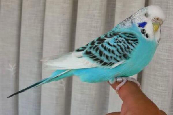 plumas colores periquitos
