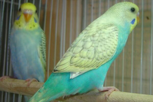 colores estándar periquitos
