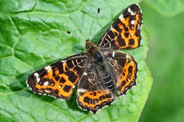 de qué se alimenta mariposa protea