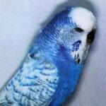 tipos periquito spangle o perlado azul oscuro
