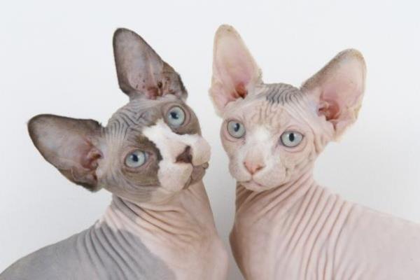 tipos gato sphynx