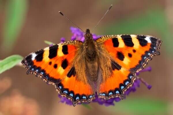 qué come la mariposa ortiguera