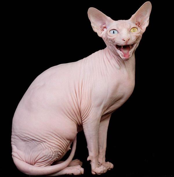 cómo es el gato egipcio