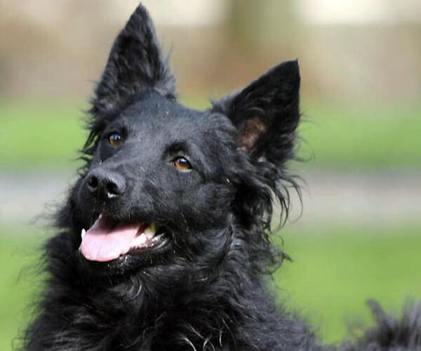 descripción raza de perro pastor croata