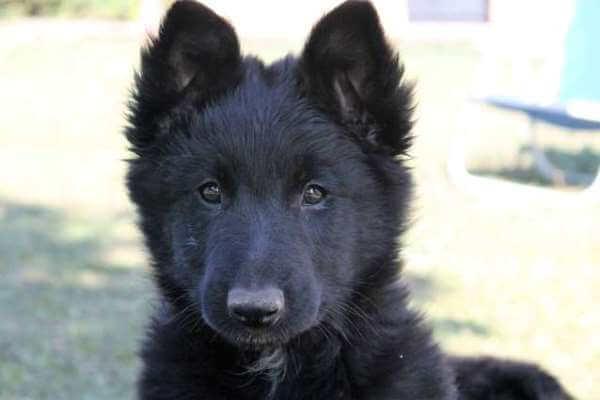 descripción cachorro pastor belga negro