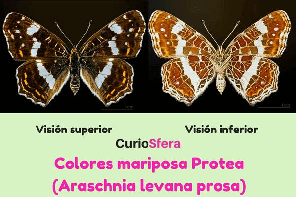 cómo es la mariposa Protea