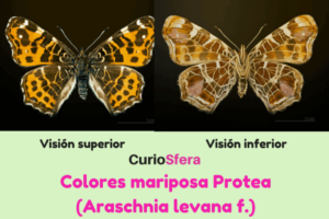 mariposa protea características