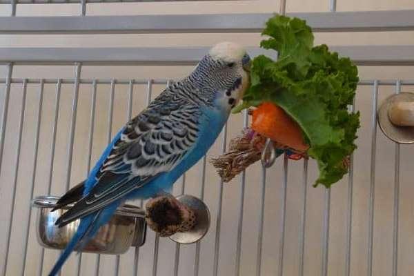 Frutas y verduras para periquitos