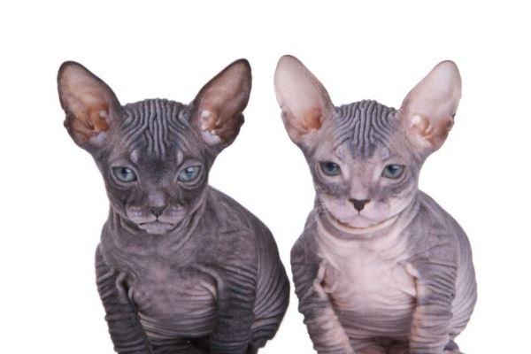peculiaridades gato desnudo canada