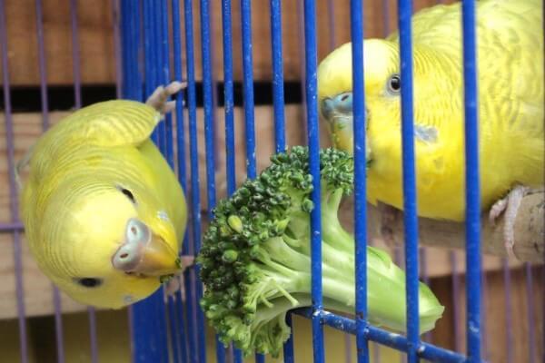 Qué Frutas y Vegetales Comen los Periquitos