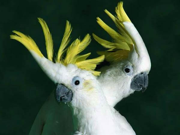 cacatúa cresta amarilla