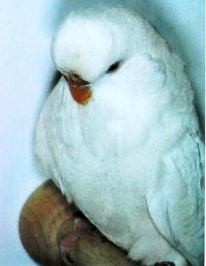 características Periquito Albino