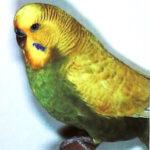 descripción Periquito alas claras australiano