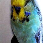 características periquitos Alas grises y opalinos alas grises de cara amarilla