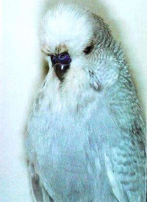 color Periquito blanco normal