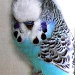 características Periquito Canela azul claro