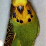 descripción Periquito Canela verde claro