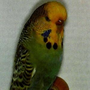 color Caras amarillas australianos normales