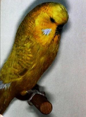 color Periquito opalino amarillo