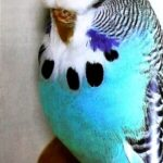 color Periquito azul claro