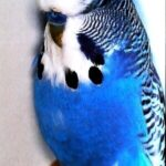 color periquito azul oscuro