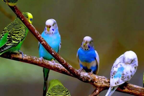 periquitos colores lindos
