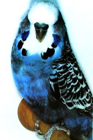 color Periquito malva