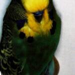 color Periquito verde oscuro