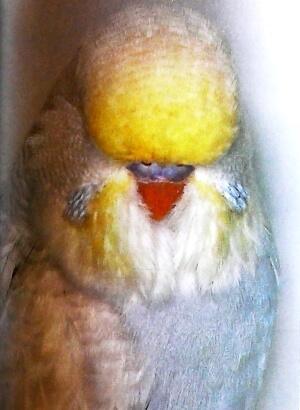 color Blancos y opalinos blancos de cara amarilla