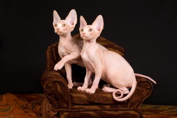 hay gatos sin pelo
