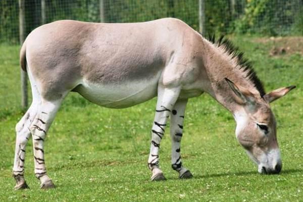 raza de caballo asno