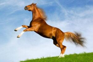 raza de caballo Bávaro
