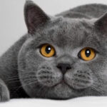 raza de gato British shorthair