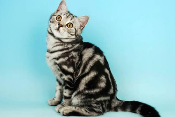 gato británico de pelo corto spotted
