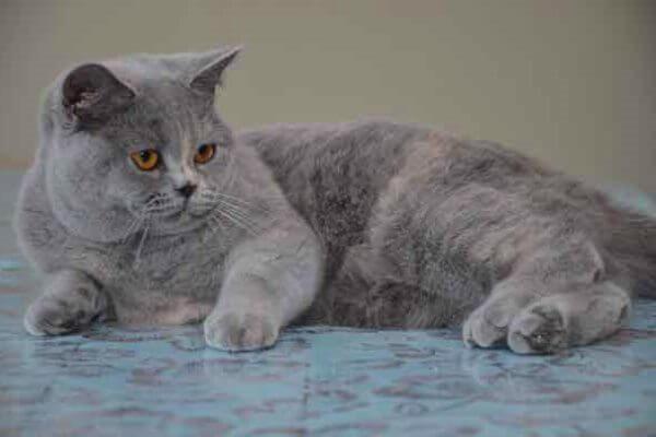 gato británico de pelo corto color azul crema