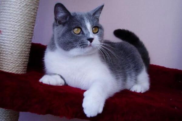 gato británico de pelo corto bicolor azul y blanco