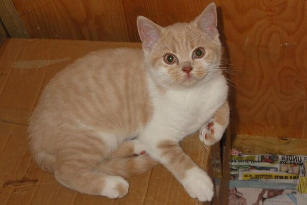 gato británico de pelo corto bicolor crema y blanco