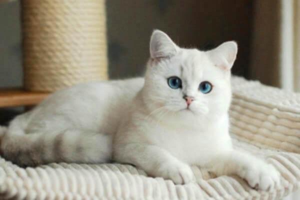 gato británico de pelo corto blanco