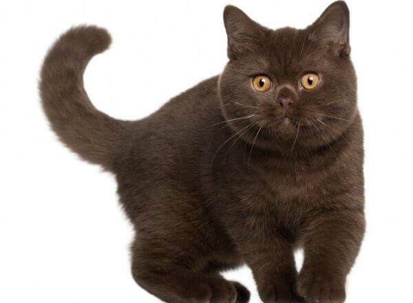 gato británico de pelo corto color chocolate