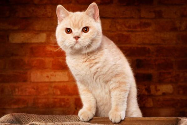 gato británico de pelo corto color crema