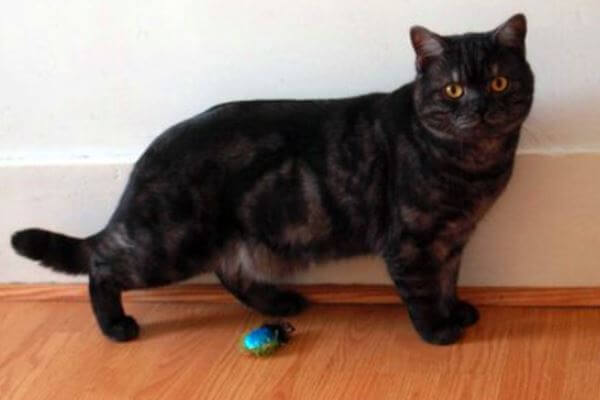 gato británico de pelo corto color smoke