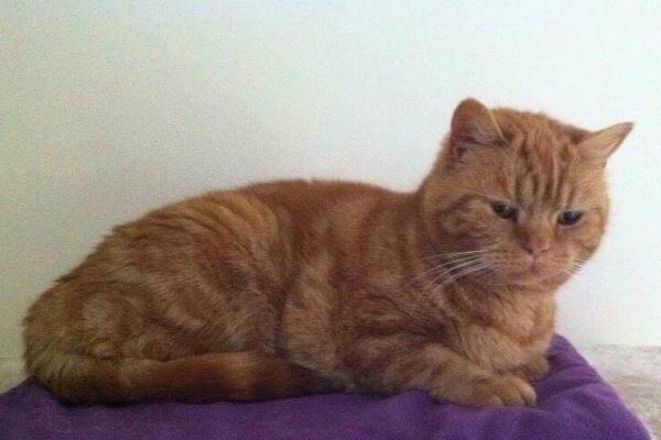 gato británico de pelo corto tabby rojo