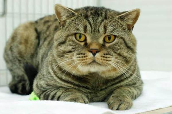 gato británico de pelo corto tabby