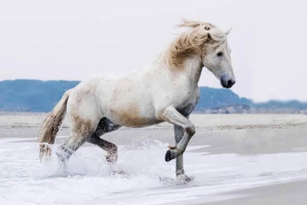 raza e caballo Camargués