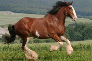 características caballo Clydesdale