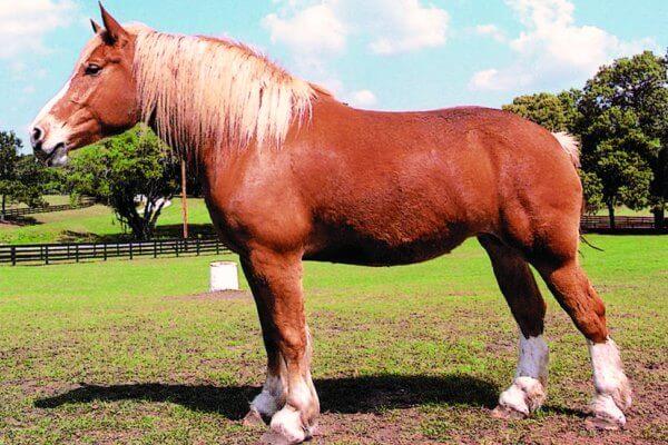 características caballo de tiro belga